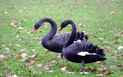 Mating swans at Lake Daylesford