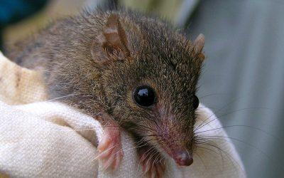 Antechinus or rat?