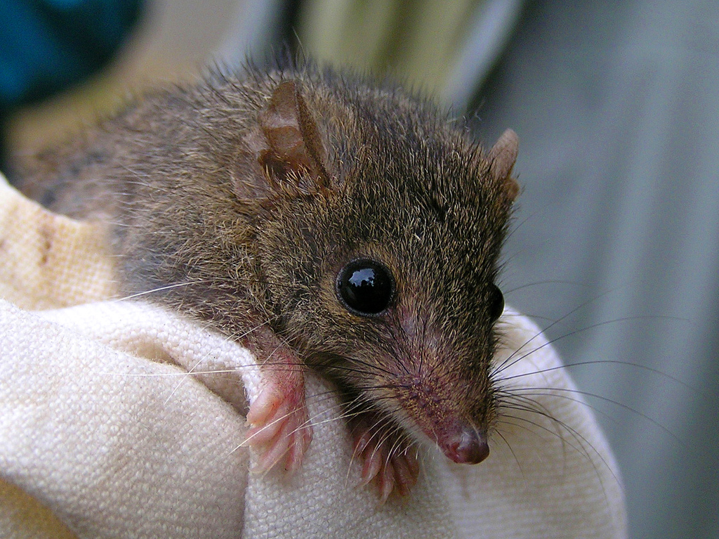 agile_antechinus_antechinus_agilis_on_cloth_close-up_from_front