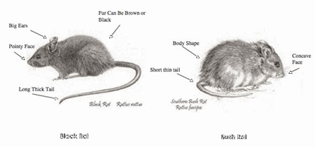 black-rat-vs-bush-rat