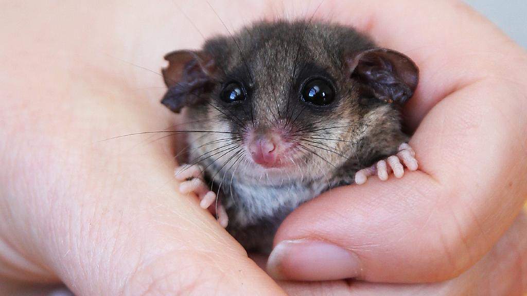 eastern pygmy possum north head manly