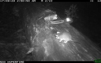 Pygmy possums caught on camera