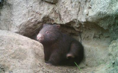 Wombats arrive on my street!
