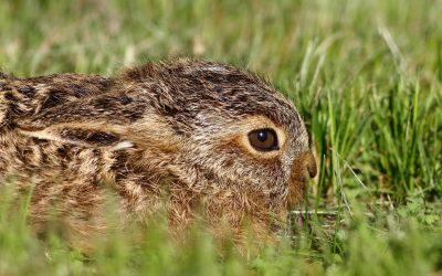 the brown hare: old big-bum, furze cat