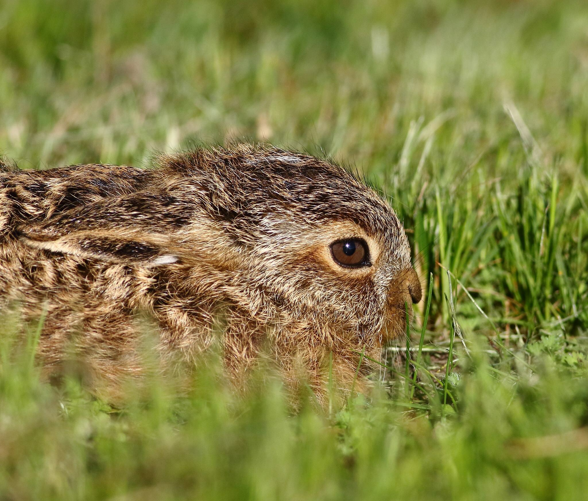 young hare by Mary Hartney