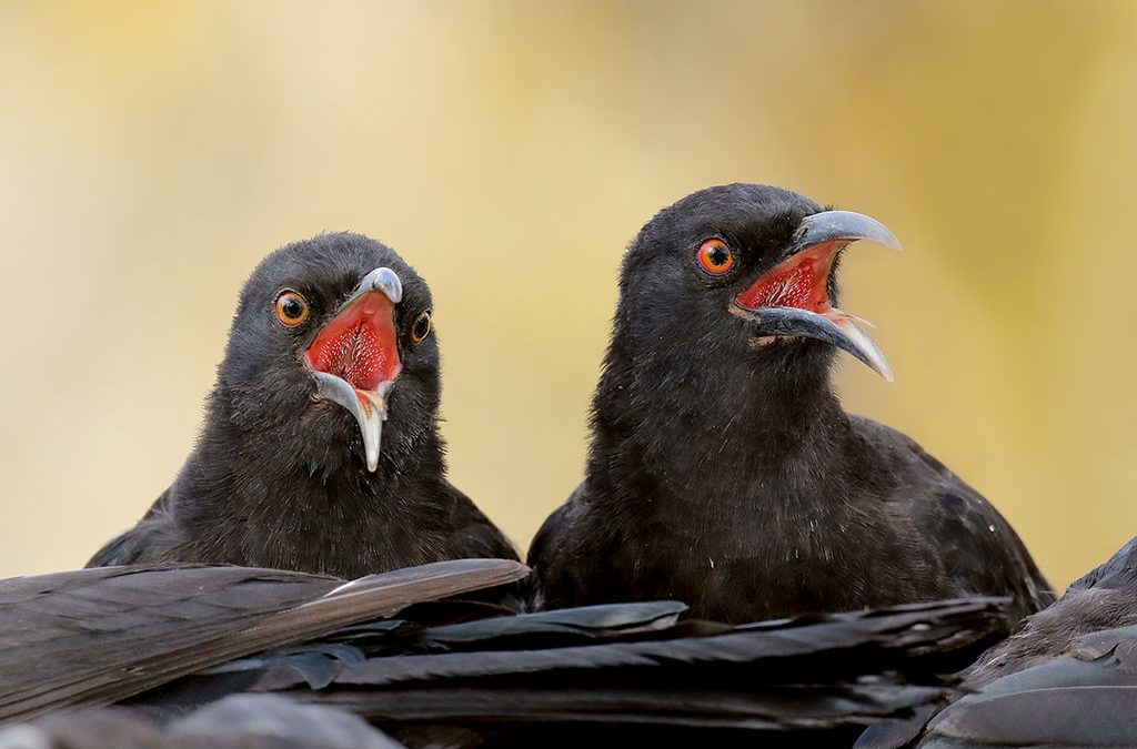 Chuffed with Choughs