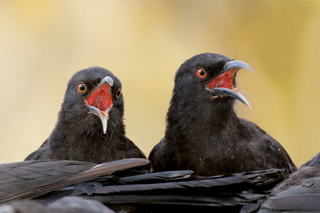1024px-White-winged_Choughs_(patrick kavanagh)