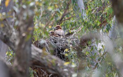 Square-tailed Kites nest locally