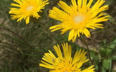 Our local stars: daisies