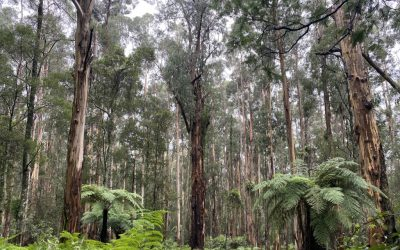 Looking for lyrebirds ethically in 'rona times