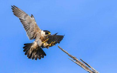 Peregrine Falcons – sky hunters